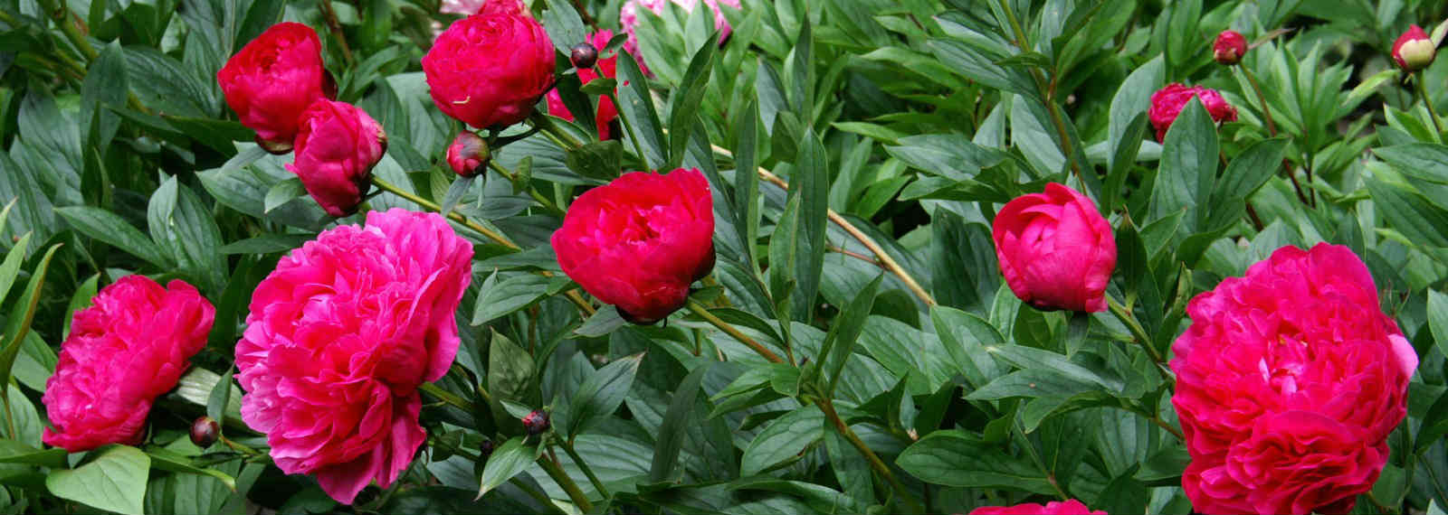 Mail order delivery of potted peonies