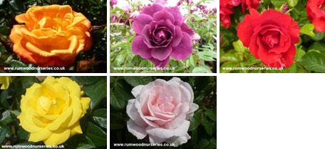 Classic Floribunda Collection