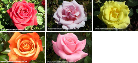 Classic Hybrid Tea Collection
